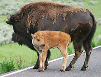 A bison and calf stand in the road in the Lamar Valley.