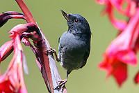 Male slaty flowerpiercer. This bird pierces the base of flowers with its sharp hooked bill to drink the nectar.