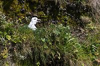 Eissturmvogel, Eis-Sturmvogel, Nordatlantischer Eissturmvogel, Küken im Nest, Sturmvogel, Fulmarus glacialis, Fulmar, Northern Fulmar, Arctic fulmar, Le Fulmar boréal, le Pétrel glacial, le Pétrel fulmar, le fulmar glacial