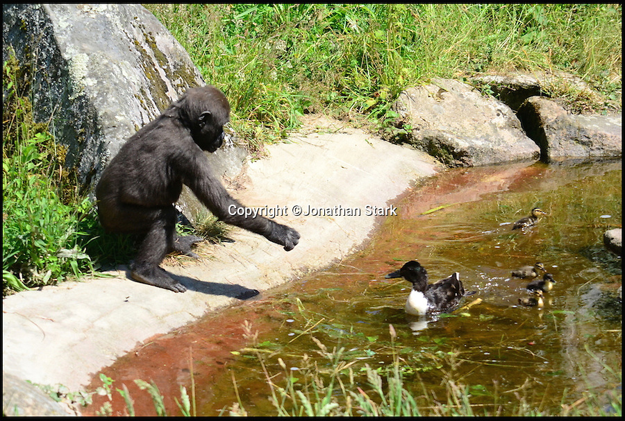 BNPS.co.uk (01202 558833)<br /> Pic: JonathanStark/BNPS<br /> <br /> This is the amusing moment a baby gorilla went quackers after a flock of ducks arrived in his enclosure.<br /> <br /> Two-year-old Indigo, a western lowland gorilla, was fascinated by the mother duck and her four ducklings swimming in his pond and at one point even looked poised to jump in after them. <br /> <br /> The ducks have made the pond in the gorilla enclosure at Durrell Wildlife Park in Jersey their home.