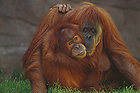 Orangutan Mouther and young