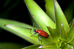 Red (scarlet) lily beetle,  Lilioceris lilii