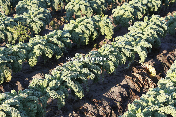 Kale growing in the field