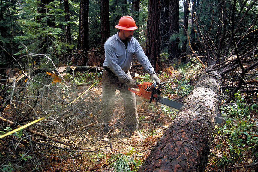 Logger using chain saw to cut up fallen tree in forest.