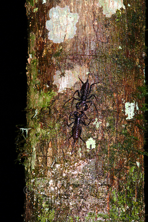 Whip Scorpions (Thelyphonida) is an arachnid order comprising invertebrates commonly known as vinegaroons (or vinegarroons). They are often called uropygids in the scientific community after the former order Uropygi (which originally also included the order Schizomida). They are also known as whip scorpions because of their resemblance to true scorpions and because of their whiplike tails.