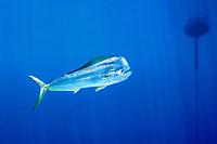 mahi mahi, dolphin fish, or dorado, Coryphaena hippurus, bull at FAD (fish aggregating device), Kona, Big Island, Hawaii, USA, Pacific Ocean