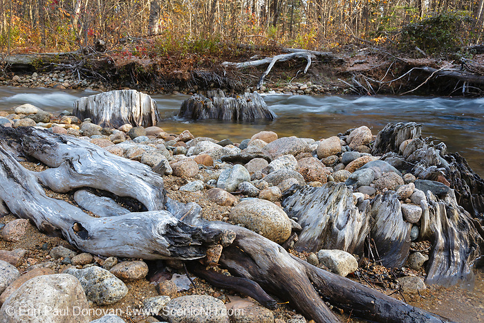 Large tree stumps in the Swift River in the White Mountains of New Hampshire USA. This area was logged during the Swift River Railroad era (1906 -1916).