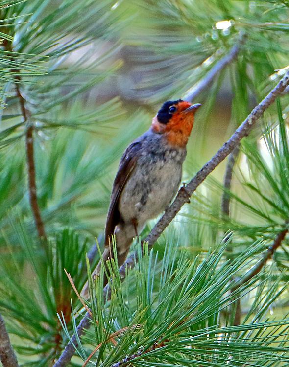 Female red-faced warbler