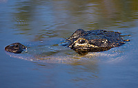 Alligator in river water, Everglades, Florida, United States of America