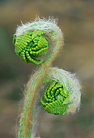 Fiddleheads of Interrupted fern (Osmunda claytoniana). , Worthington, Ontario, Canada