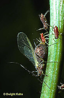 1A23-024z  Aphid - winged adult giving birth to live young, virgin birth, partenogenesis, Dactynotus spp.