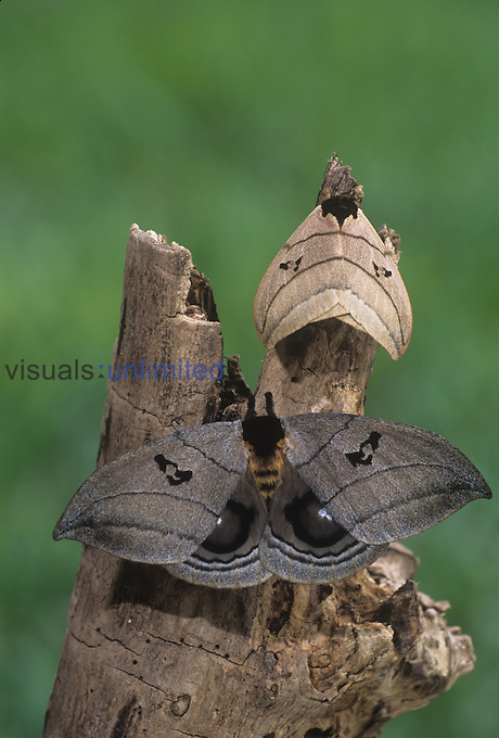 Saturniid Moths (Automeris curvilinea), male above and female below, Family Saturniidae, Ecuador.