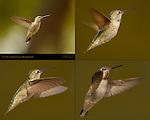 Anna's Hummingbird Female in Hovering Flight, Composite Flight Study, Southern California