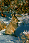 Bunny sits in the snow in South Dakota.
