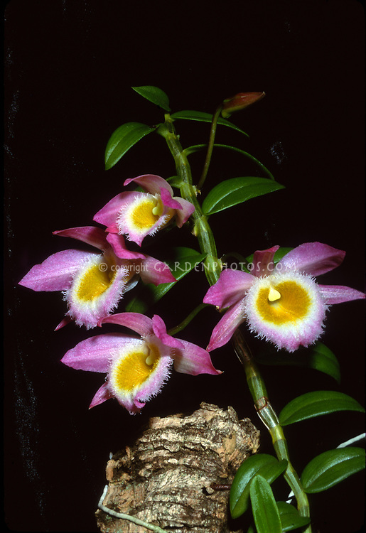 Dendrobium loddigesii orchid species aka Loddiges' dendrobium, native to Laos, Vietnam, China, pink fringed flowers with yellow and white lip, cane dendrobium, miniature small growing plant