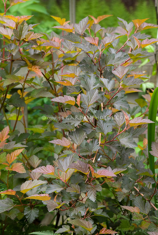 Physocarpus opulifolius 'Coppertina'  in late June, summer color. Note that Physocarpus 'Coppertina' aka Mindia is called Physocarpus opulifolius 'Diable D'Or' aka Mindia in Europe.