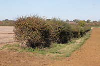 Hedge line in a field <br /> Picture Tim Scrivener 07850 303986<br /> &hellip;.covering agriculture in the UK&hellip;.