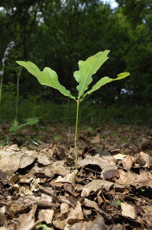 Pedunculate or English Oak Quercus robur Fagaceae - seedling. Height to 36m. Spreading, deciduous tree with dense crown. Bark Grey, thick and fissured with age. Branches Dead branches emerge from canopy of ancient trees. Buds hairless. Leaves Deeply lobed with 2 auricles at base; on very short stalks (5mm or less). Reproductive parts Flowers are catkins. Acorns, in groups of 1–3, with long stalks and scaly cups. Status Widespread; prefers heavier clay soils to Sessile Oak.