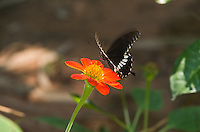 The Common Mormon (Papilio polytes) is a Black-bodied Swallowtail that displays Batesian mimicry. (Cambodia)