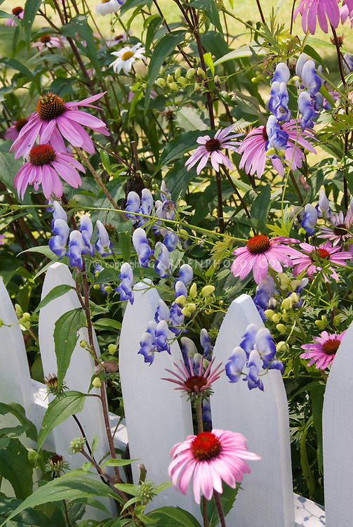 Backyard garden with pink Echinacea purple coneflowers, white picket fence, blue monkshood Aconitum x cammarum 'Bicolor' monkshood (poisonous plant), lawn, house building in summer flowers