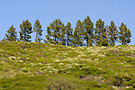 Canary Island Pines (Pinus canariensis) on the hills of Tenerife, Canary Islands