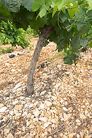 Domaine l'Aigueliere. Montpeyroux. Languedoc. Grenache grape vine variety. Soil argilo-calcaire, clay and calcareous limestone. Terroir soil. France. Europe. Vineyard. Soil with stones rocks. Clay. Calcareous limestone.