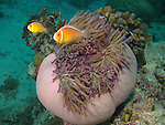 German Channel, Palau -- Pink Anemonefish guarding their purple majestic anemone.