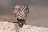 Schöne Landdeckelschnecke, Schöne Land-Deckelschnecke, Pomatias elegans, round-mouthed snail, round mouthed snail, Landdeckelschnecken, Pomatiidae