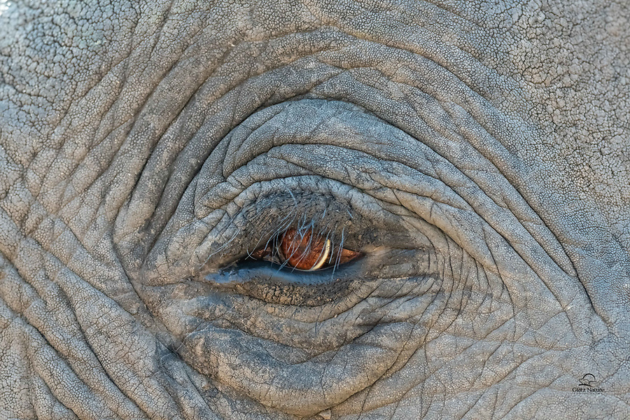 We saw this huge Elephant (Loxodonta africana) foraging in a forest. When he approached the road our driver moved the vehicle back but we tried to capture an extreme closeup of its beautiful eyes. Many missed shots - focused on the eyelashes - but this one came out. Love the details on the skin and wrinkles. Un-cropped image.