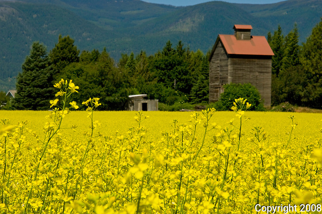 Field of rapeseed blooming in the summer which is can be used to make oil