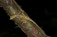 A Blunt-nosed Anole, Norops capito, at night in the rainforest of Corcovado, Costa Rica