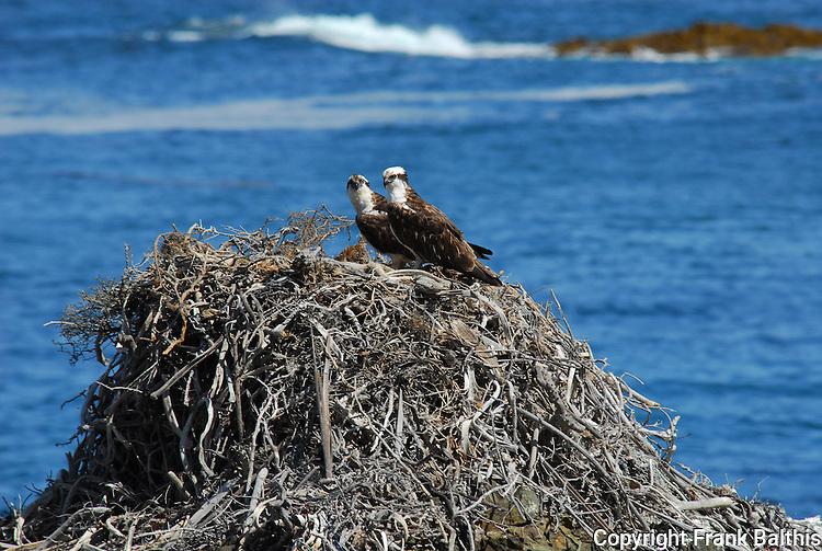 Osprey at nest on West San Benitos Island