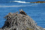 Osprey at nest on West San Benitos Island