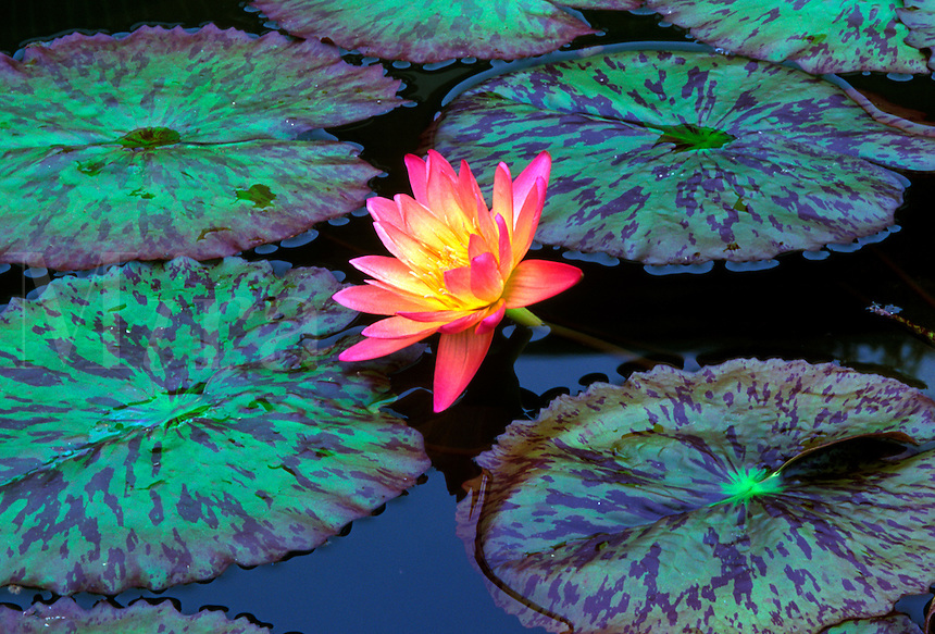 Water lilly.