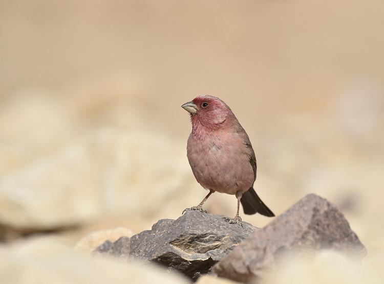 Sinai Rosefinch - Carpodacus synoicus