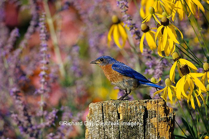 01377-078.07 Eastern Bluebird (Sialia sialis) male on fence post in flower garden, Marion Co.  IL