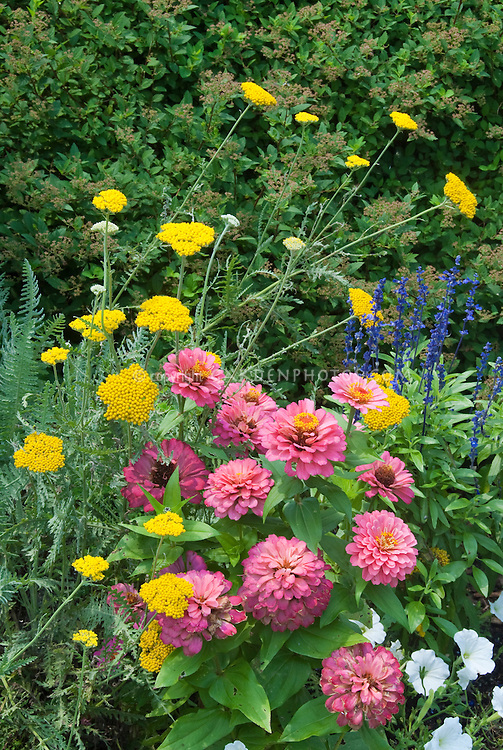 Zinnias, pink Magellan Coral, with perennial Achillea and Salvia farinacea and white petunias in annuals and perennials summer garden of blue, yellow and pink color theme mixed together