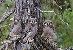 Hawk owls, Yellowknife region, Northwest Territories, Canada