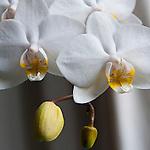 Brussels-Belgium - April 25, 2016 -- Blossoms of an orchid -- Photo: © HorstWagner.eu