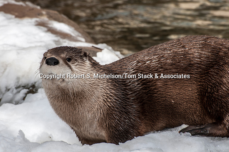 north american river otter playing in snow