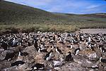 Rockhopper penguins and shags on New Island. Falklands
