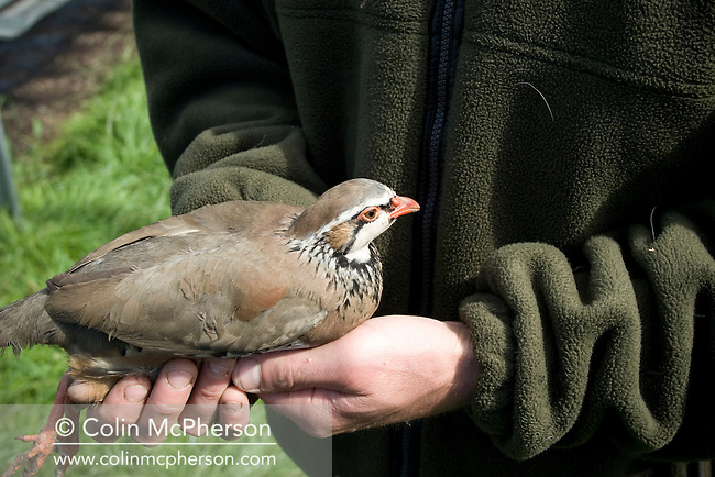 A member of staff at Hy-Fly Hatcheries, a company based in Preesall, near Blackpool, Lancashire which specialises in breeding partridge and pheasant to be sold to sporting estates, pictured checking a partridge which has been infected with brachyspira. The partridges are kept in small cages for up to three years while they mature before being sold. Pheasants are also kept in cages but are transferred to outdoor pens as they mature. The company, which is owned by Ray Holden, produces around three million day-old chicks per year.