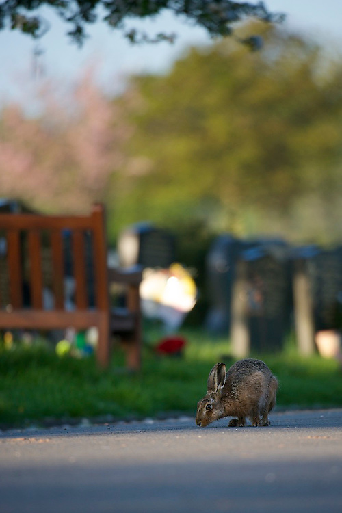 A Brown hare (Lepus europaeus) sitting amongst grave in a cemetery.  England.