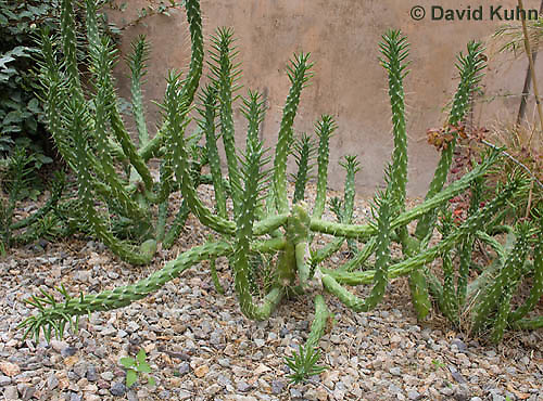 1202-0863  Eves Needle Cactus (Cane Cholla), Opuntia subulata  © David Kuhn/Dwight Kuhn Photography