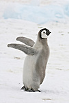 Emperor penguin chick throw its wing back in celebration.