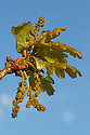 Sessile Oak {Quercus petraea} leaves and catkins emerging in spring. Peak District National Park, Derbyshire, UK. April.