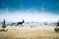 A Bull Elk in Kawuneeche Valley, Rocky Mountain National Park, Colorado is silhouetted in the morning fog.