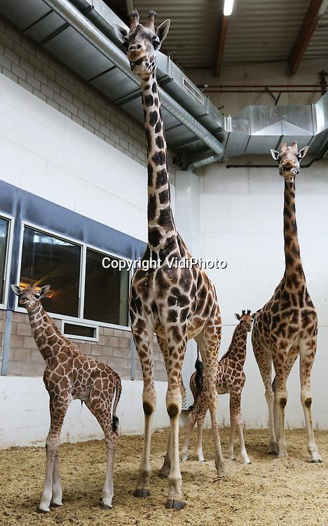 Foto: VidiPhoto<br /> <br /> ARNHEM - Terwijl de temperaturen dalen, viert Burgers' Zoo in Arnhem al de lente. Dinsdagochtend vroeg is -binnen anderhalve week- een tweede Rothschildgiraffe geboren, nu een mannetje: Mees (r). Vorige week donderdag beviel de ervaren moeder Mariska al van een kleine: Mila. Dat er zo kort na elkaar giraffen worden geboren is voor Burgers' Zoo een bijzondere gebeurtenis en binnen enkele weken wordt zelfs een derde jong verwacht. Voor de 4,5 jaar oude moeder Merel is het haar eerste kind. Zowel Mila als Mees worden vanwege de kou voorlopig binnen gehouden. Ze zijn achter de schermen wel te zien voor het publiek. Burgers' Zoo is Europa's grootste fokker van Rothschildgiraffen en hofleverancier van het Europese stamboek voor deze ondersoort van de giraffe.