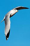 Soaring seagull 2, Upper Newport Bay, CA
