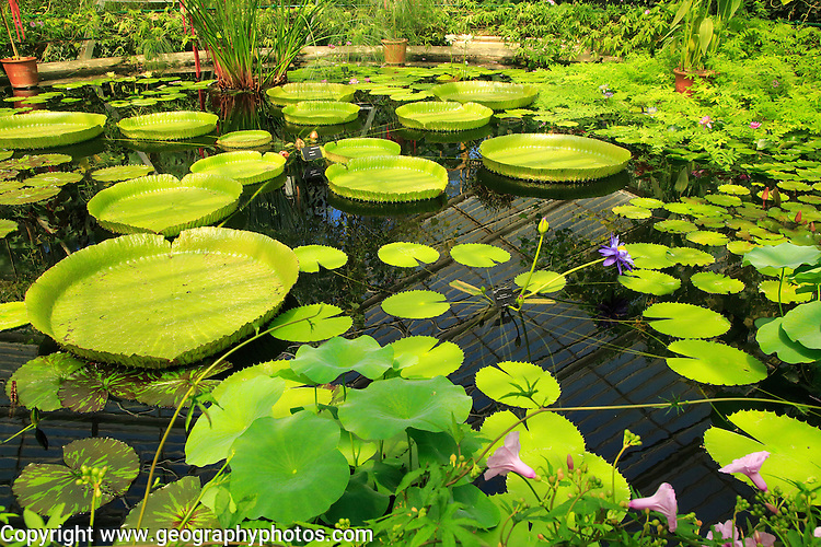 Amazon waterlily ( Victoria amazonica) flower and floating leaves, Water Lily House, Royal Botanic Gardens, Kew, London, England, UK